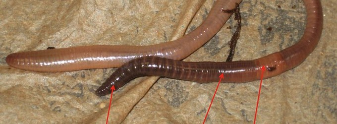 One Earthworm Suffers Unspeakable Torment In Act of Kindness Gone Awry