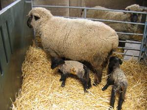 Sheep_Lambs_Mudchute_Farms
