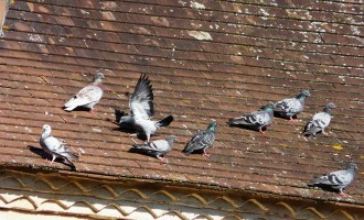 Target Practice with the Local Pigeon Population Fouls California's Superb Animal Kindness Record