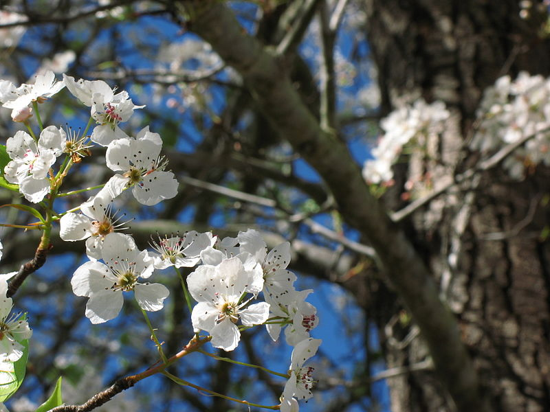 Callery_Pear_Tree_Blossom_2008
