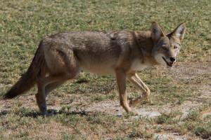 Coyote_Death_Valley_CA