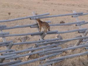Coyotes_mountain lion