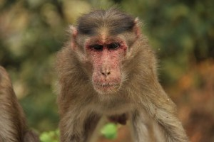 Monkey_(Bonnet_macaque)